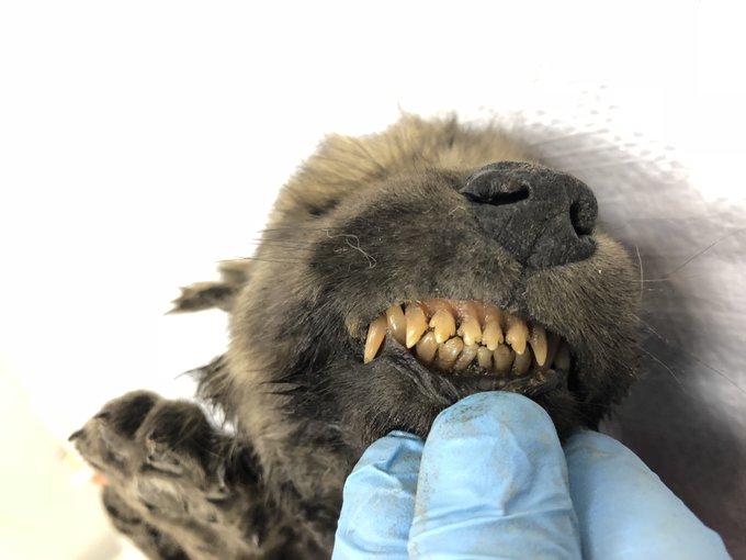 Словно живой: в Сибири обнаружен волчонок возрастом 18 тысяч лет