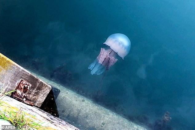 К берегам Англии приплыли огромные медузы