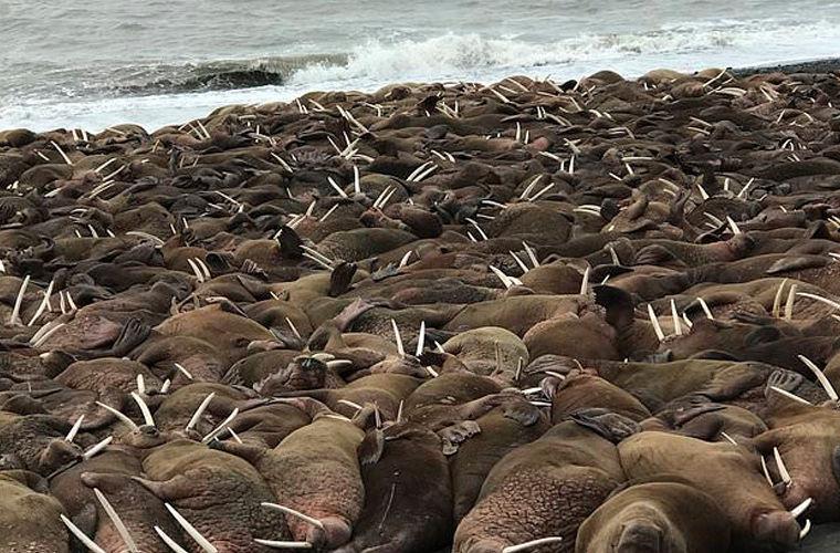 Тысячи моржей окружили поселок на Аляске
