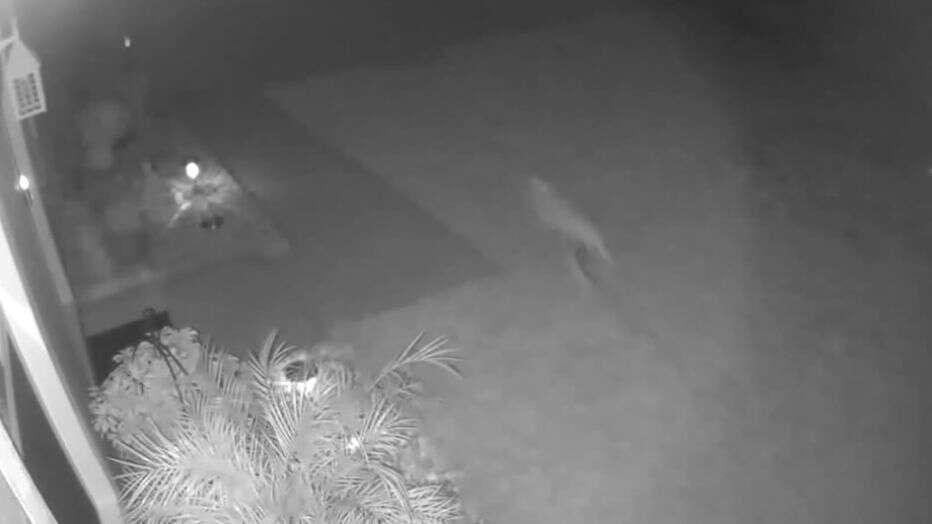 Во Флориде камера видеонаблюдения сняла «динозавра», бегущего по двору