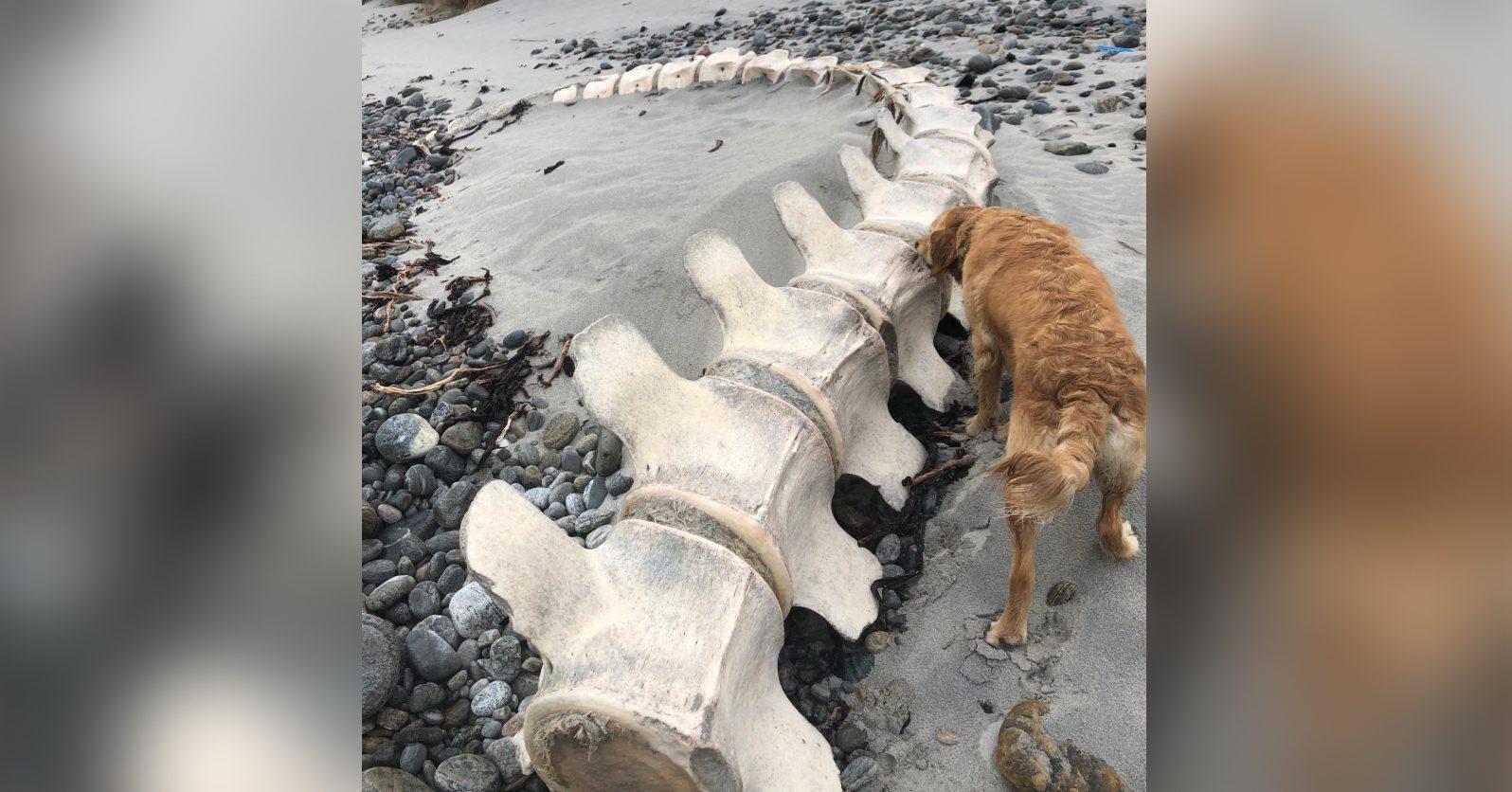 На пляже Уэльского острова нашли 11-метровый скелет кашалота