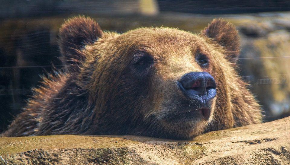 В Йеллоустоуне медведь напал на рыбака: мужчина погиб