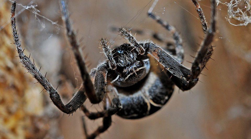 Жалят больно, живут долго: в США нашли новый вид ядовитых пауков