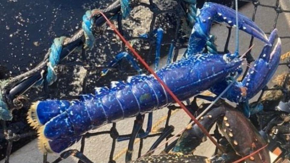 В Великобритании рыбак поймал редкого синего лобстера (фото)
