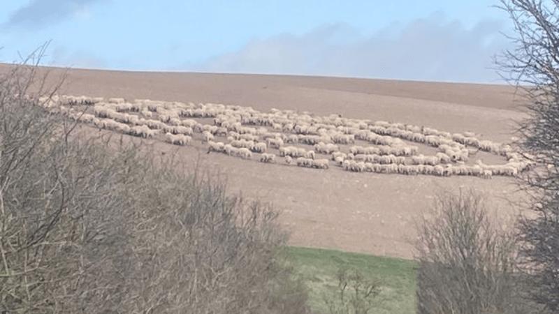 В Англии сотни овец по непонятной причине ходили по кругу