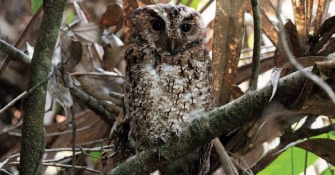 В Малайзии найдена сова, которую не видели более ста лет