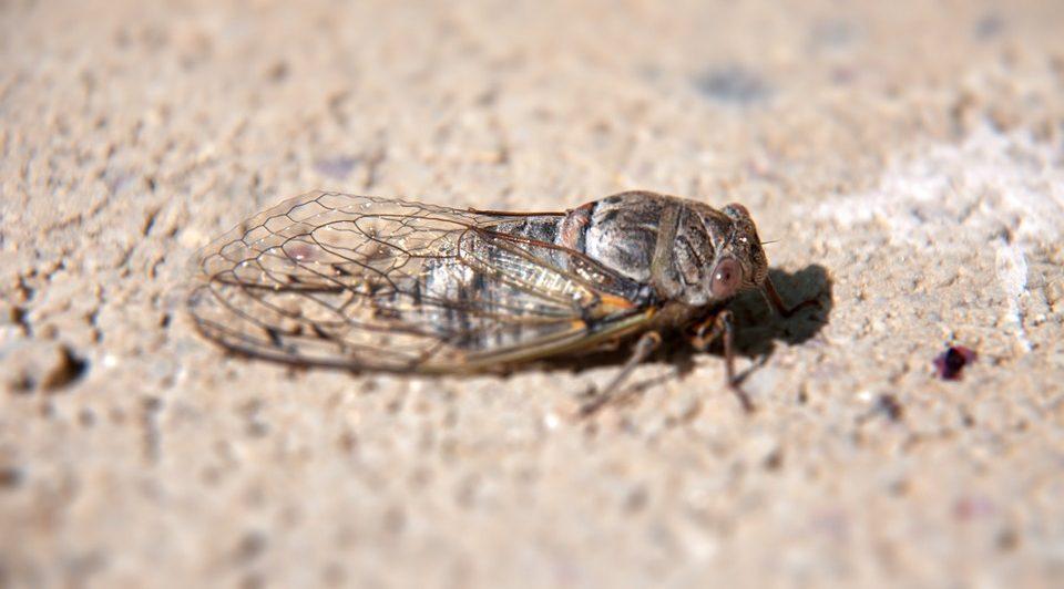 Нашествие цикад: в США из под земли вылезли миллиарды крылатых насекомых
