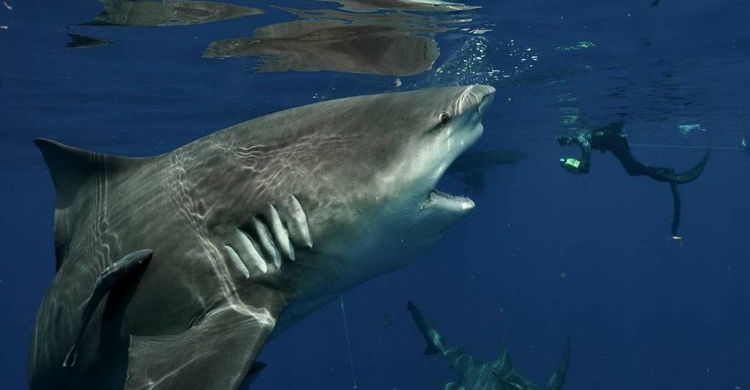 Дайвер нос к носу столкнулся с четырехметровой акулой (фото)