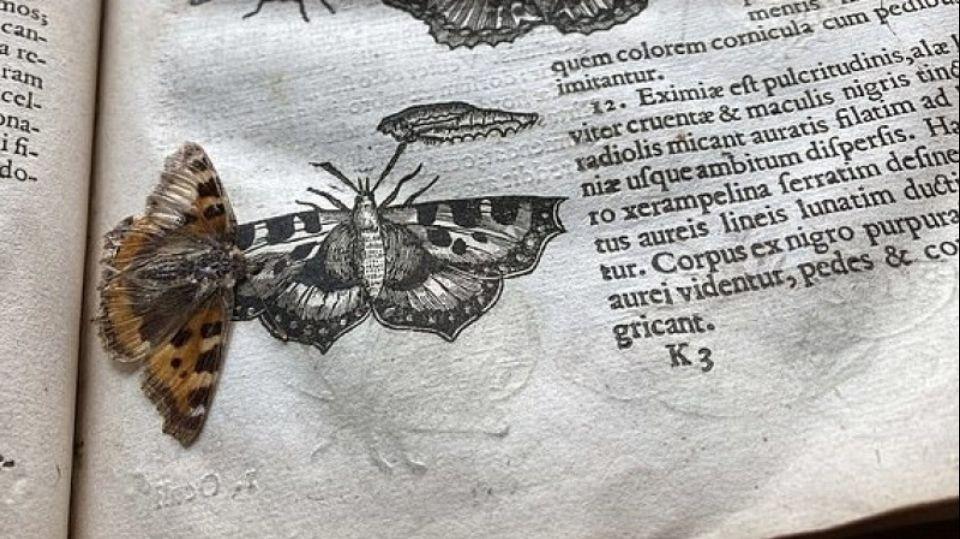 В старинном справочнике найдена засушенная 400-летняя бабочка