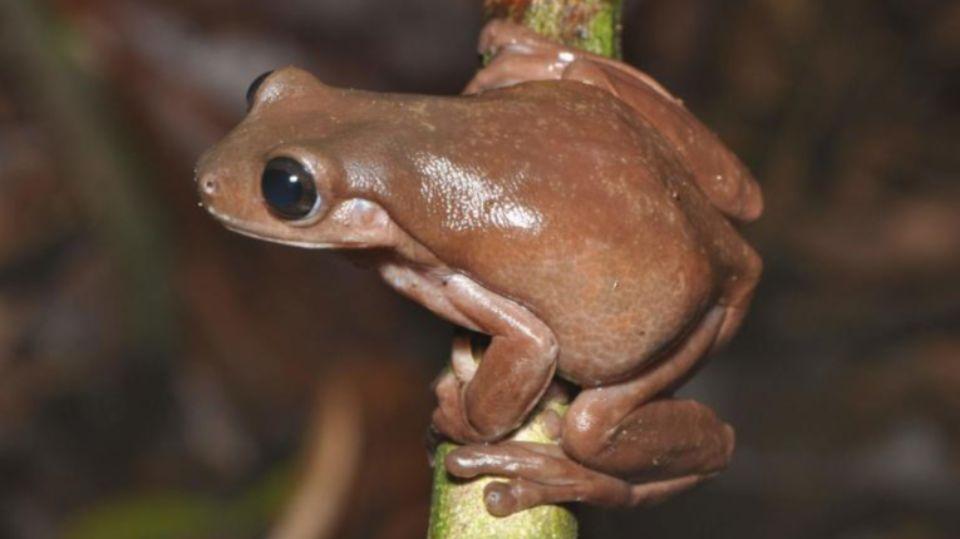 На болотах Новой Гвинеи обнаружена «шоколадная лягушка»