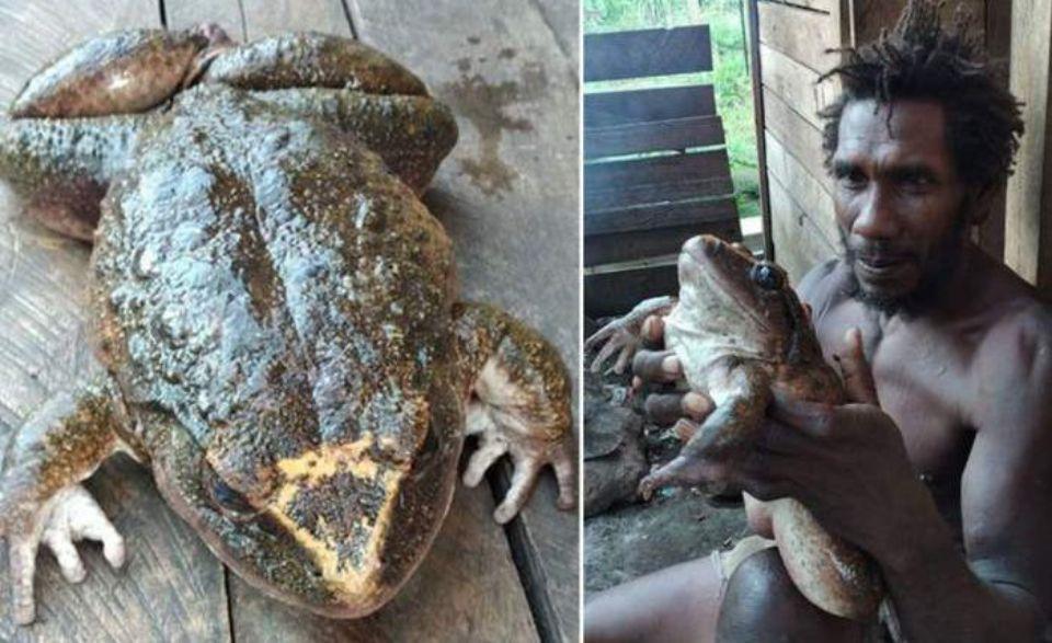 На Соломоновых островах обнаружена лягушка размером с человеческого ребенка