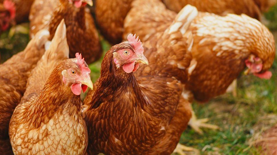 Во Франции зафиксировали вспышку птичьего гриппа