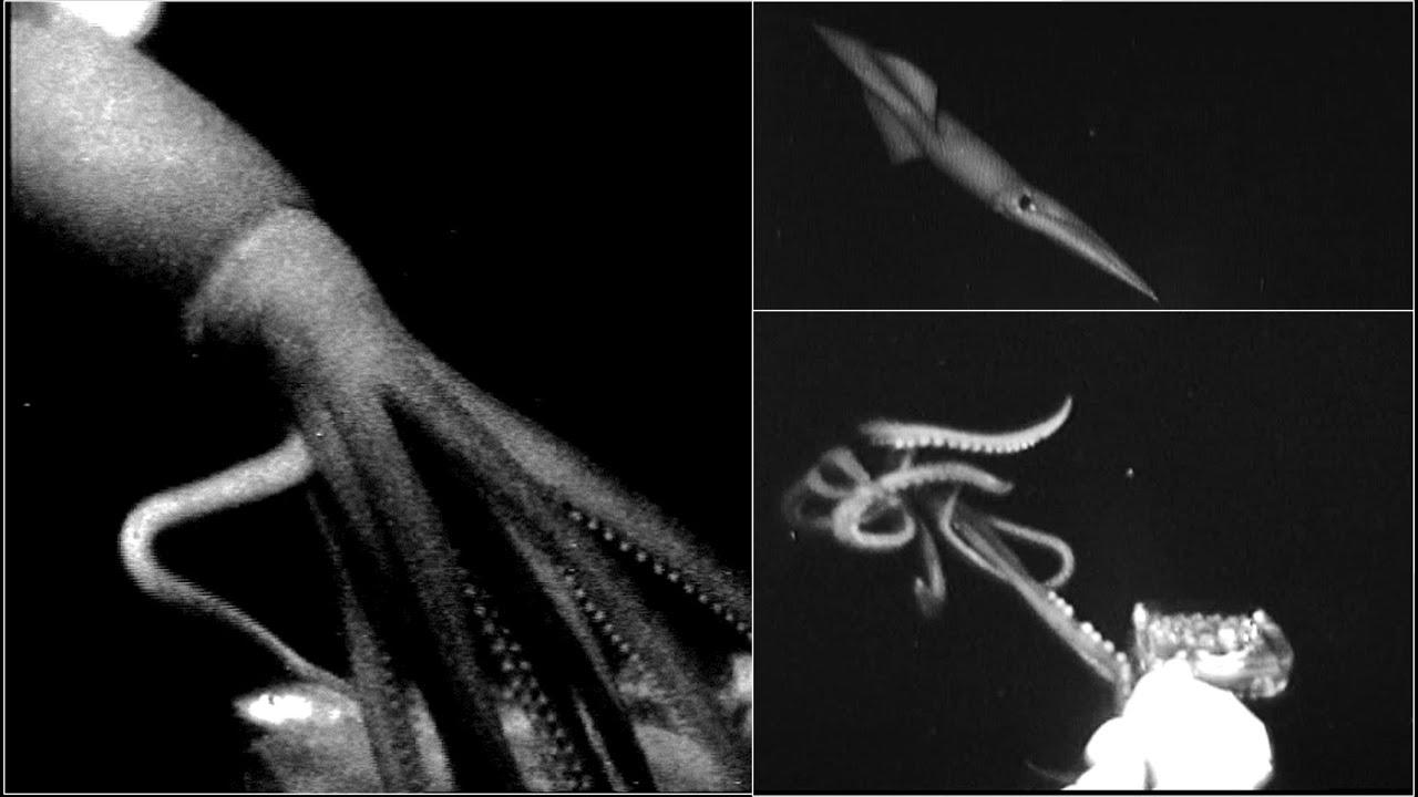 На видео попали неуловимые глубоководные кальмары