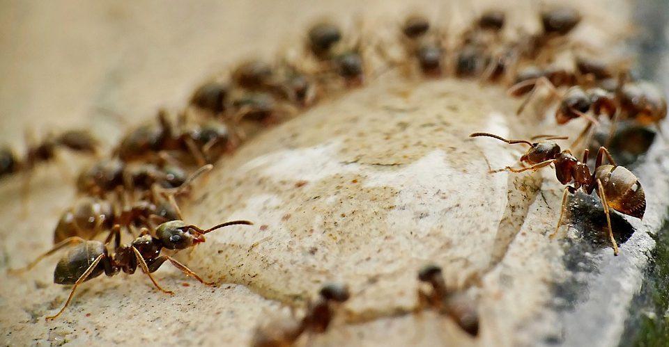 Ленточный паразит дает муравьям вечную молодость, но берет за это высокую цену