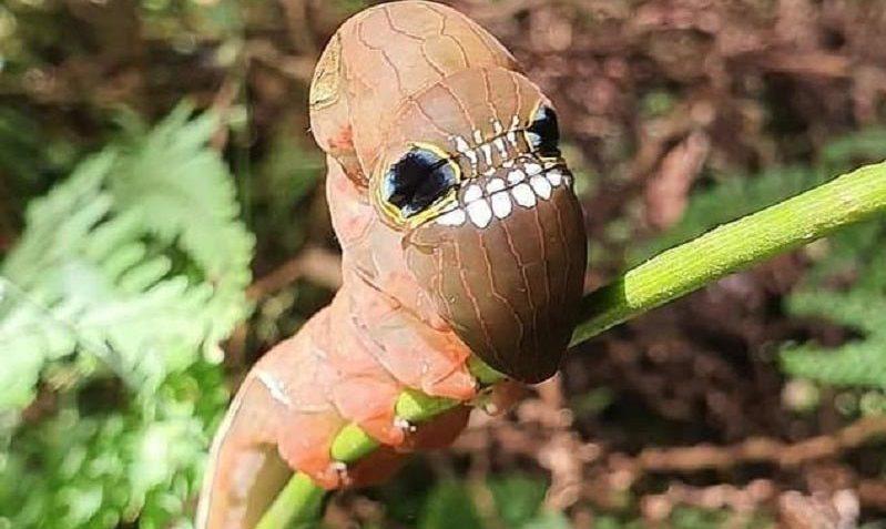 Редкий вид гусениц с необычной внешностью под угрозой вымирания