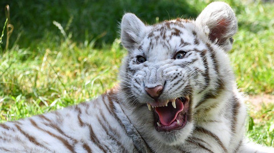 В Запорожской области на свет появились два тигренка с редчайшим окрасом