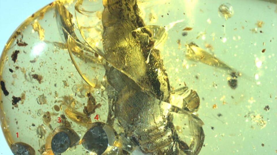 Найдена улитка, которая погибла в янтаре 99 млн лет назад