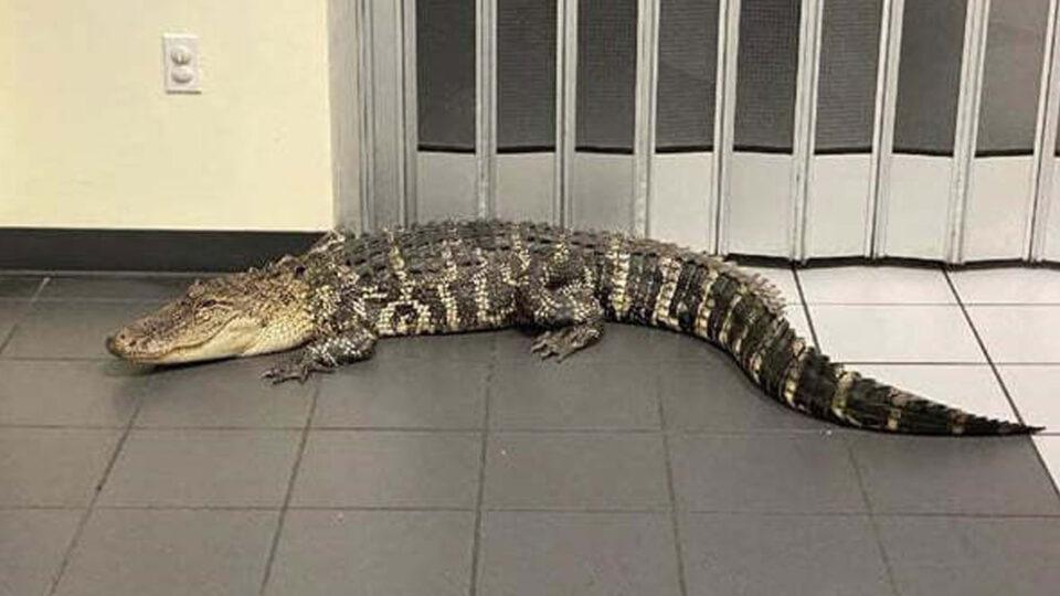 В одно из почтовых отделений Флориды пришел огромный аллигатор