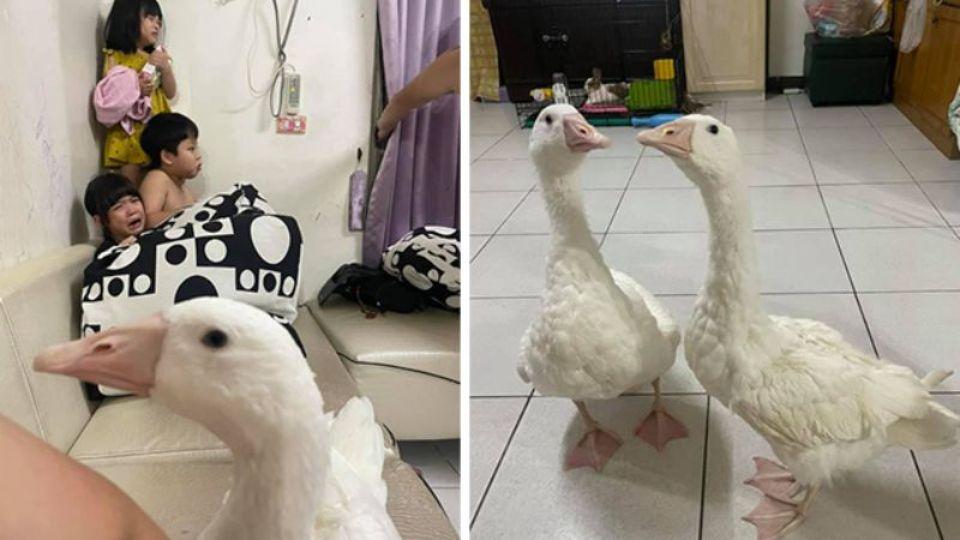 Жительница Тайваня сделала из гусей нянек для своих детей