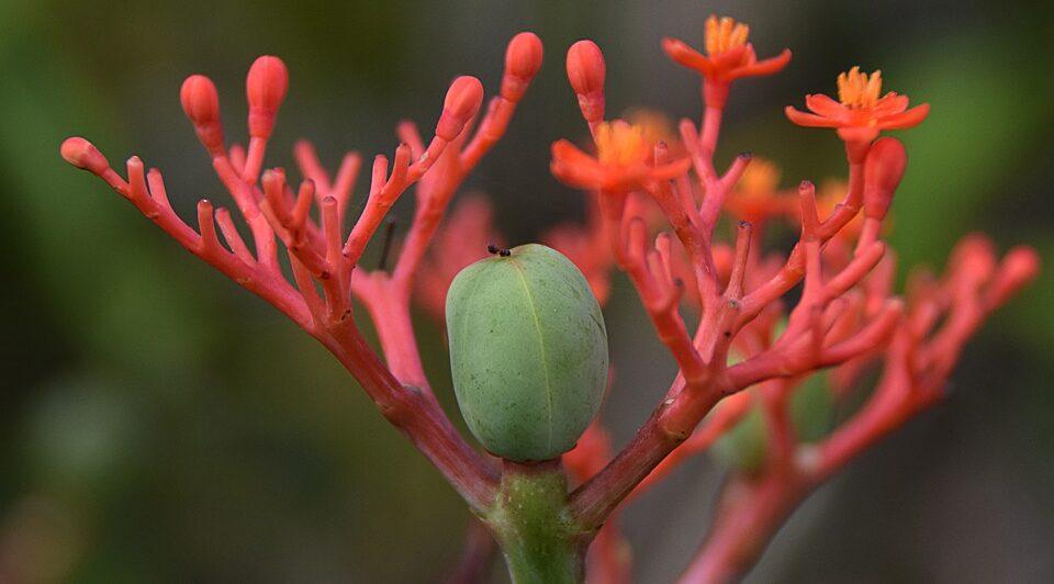 Корейский красный женьшень – польза корня для здоровья