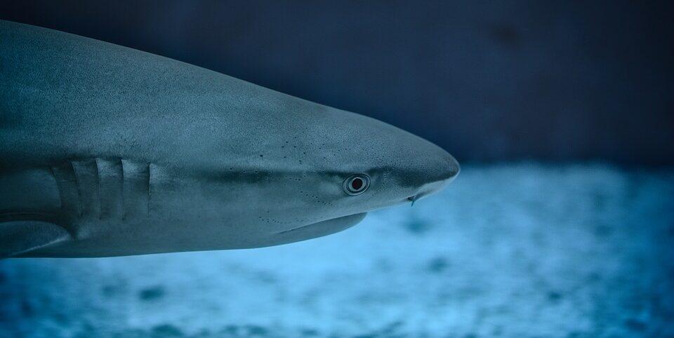 В Карибском море могут исчезнуть акулы