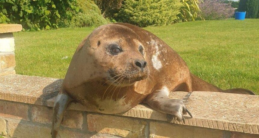 Пенсионерка из Великобритании обнаружила в своем саду тюленя