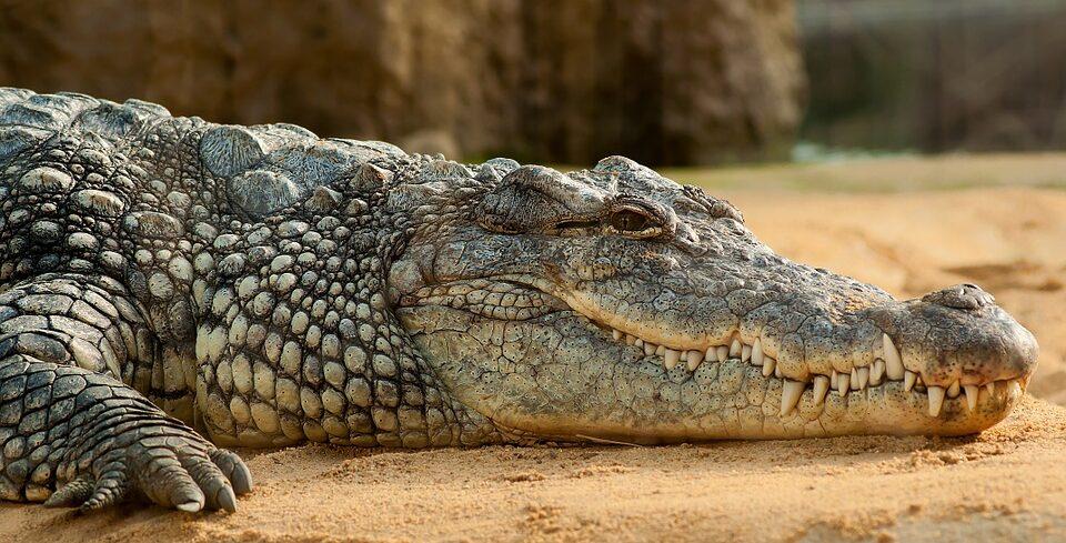 Во Флориде мужчина украл крокодила, чтобы с ним подраться