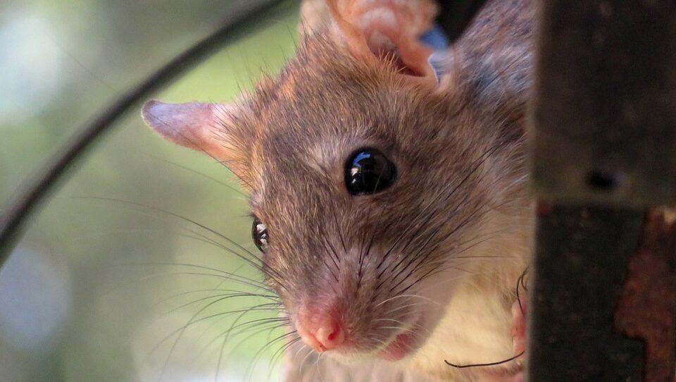 В лондонском парке женщина подверглась нападению сотни крыс
