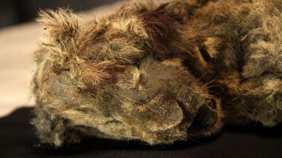 В Сибири нашли львенка, который жил еще в ледниковом периоде