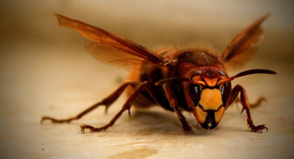 В США впервые в этом году обнаружили гигантских «шершней-убийц»