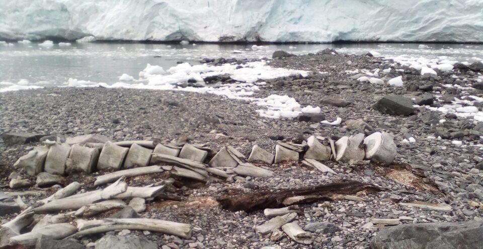 Установлен возраст останков кита, найденных рядом со станцией «Вернадский»