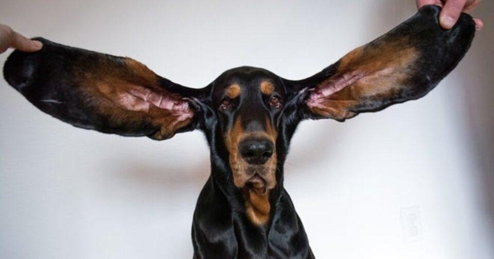 Собака с самыми большими ушами в мире попала в Книгу рекордов Гиннеса