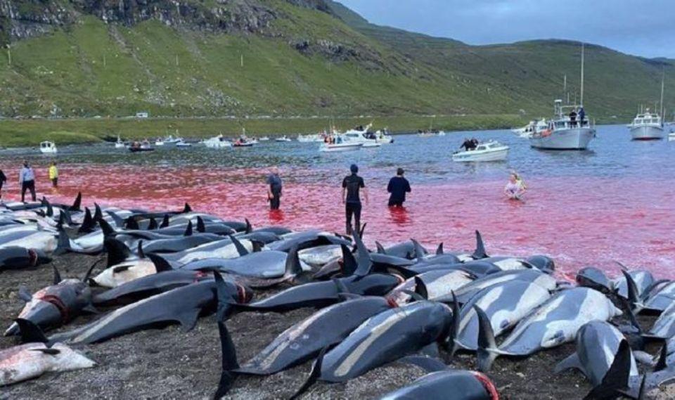 На Фарерских островах за день убили почти полторы тысячи дельфинов