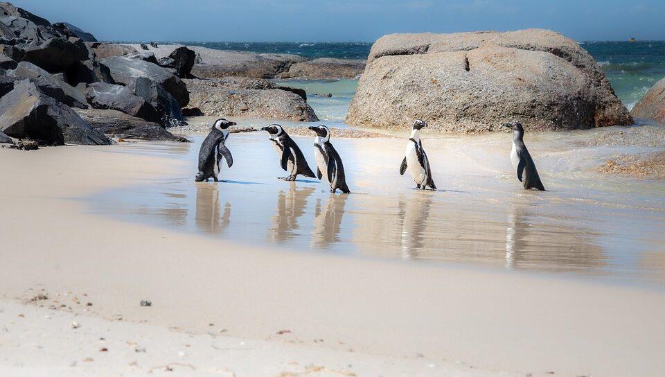 Рой пчел подозревают в гибели 63 африканских пингвинов
