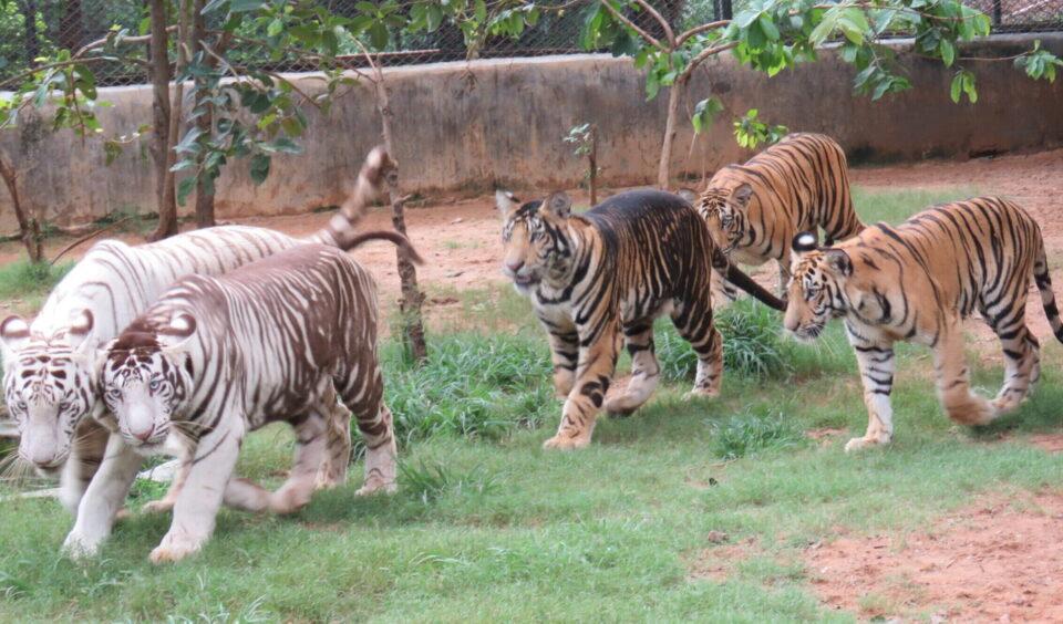 Раскрыта тайна черных тигров из биологического парка Индии
