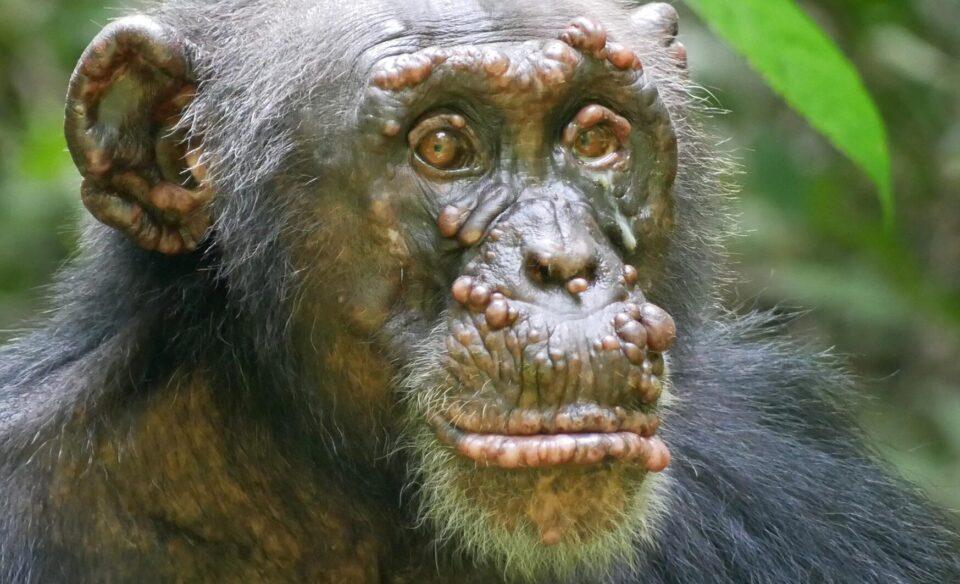 В Африке у двух видов шимпанзе выявили опасную инфекцию