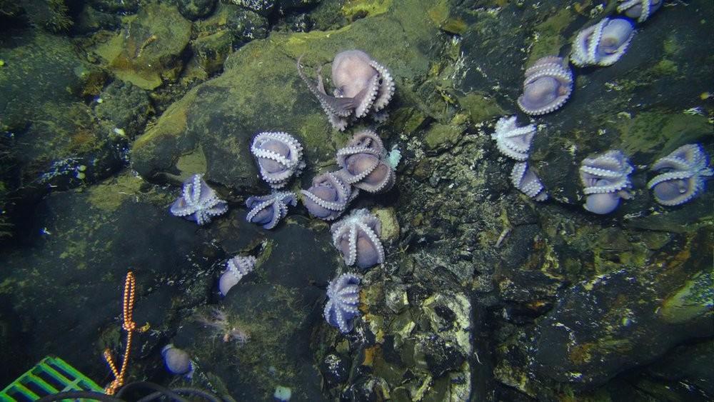 Неизвестные науке осьминоги «пришли» умирать на дно океана