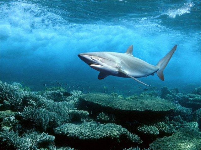 В Австралии, в прибрежных водах, гигантское создание живьем проглатывает трехметровых акул