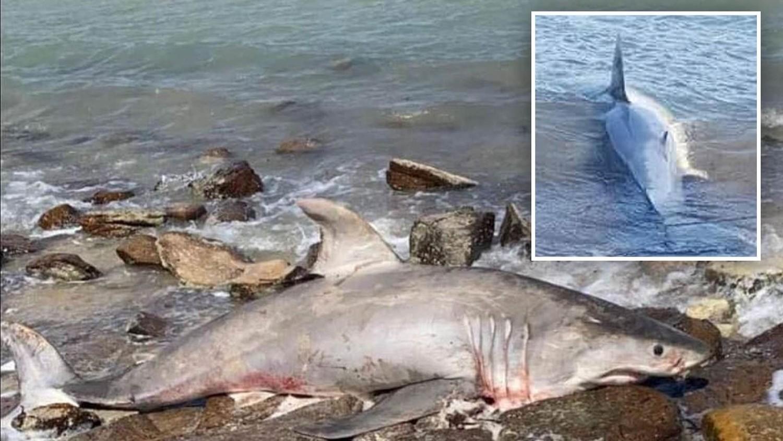 На пляже в Австралии найдена залитая кровью большая белая акула