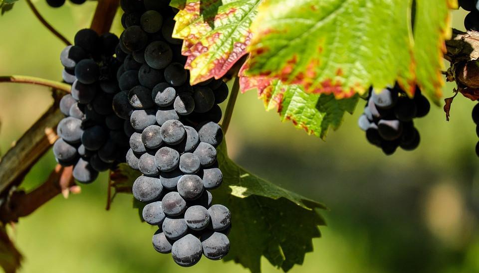 Посадка винограда на своем участке
