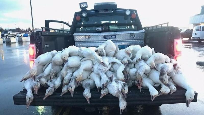 В штате Айдахо с неба упало более 50 мертвых гусей