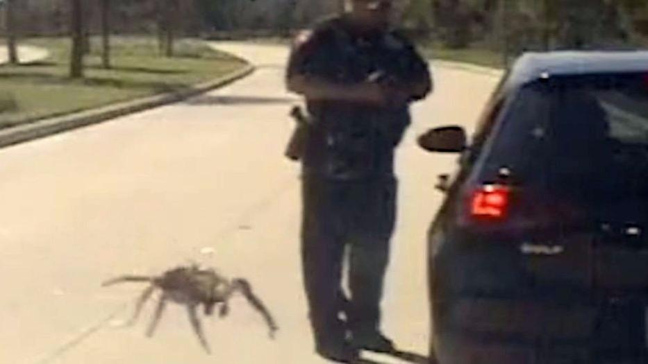 Пользователей Сети шокировало видео с гигантским пауком