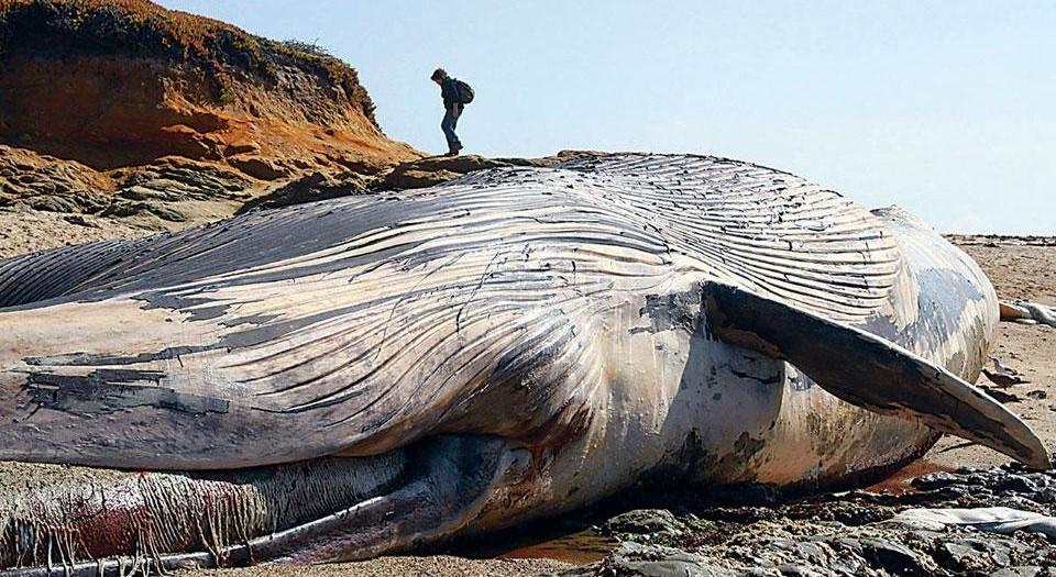 В Британии на скалах обнаружили тушу гигантского кита