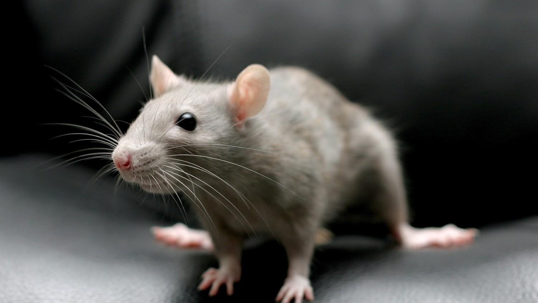В Нью-Йорке нашествие крыс вызвало панику