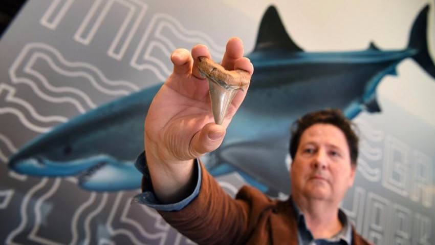 На австралийском пляже нашли зуб доисторической мега-акулы