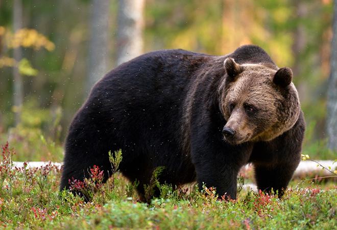 В Чернобыль вернулись медведи