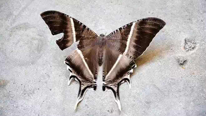 Малайзию и Сингапур заполонили гигантские бабочки