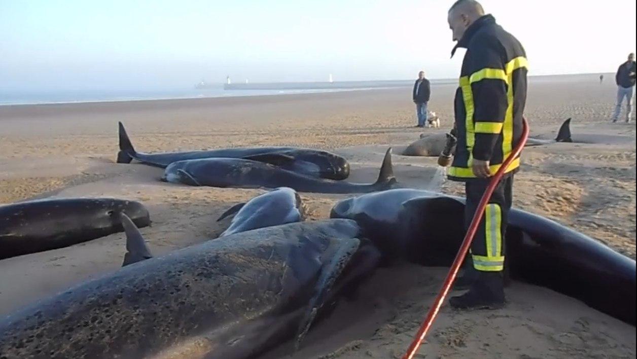 Франция – Десять китов выбросились на пляж в Кале, только 3 были спасены