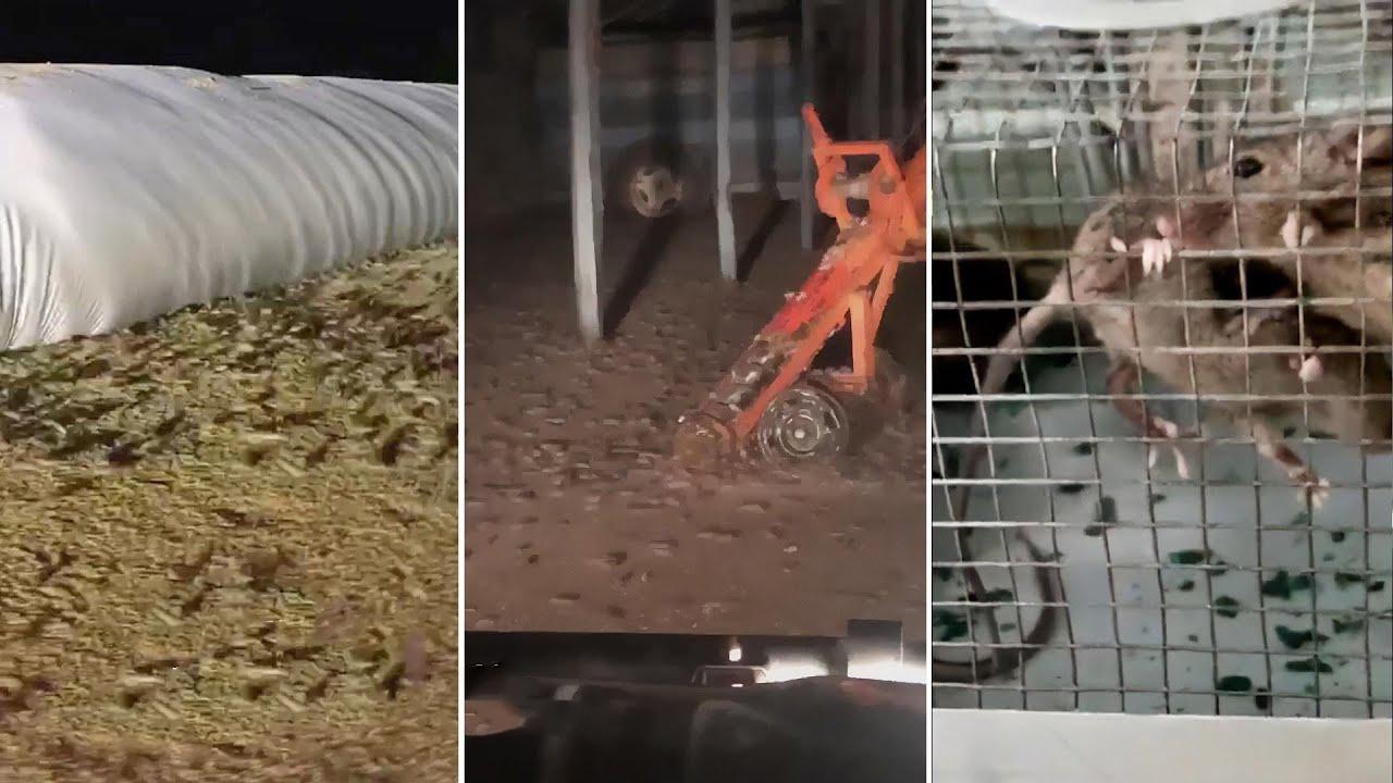 Полчища мышей в Австралии поедают урожай и атакуют людей