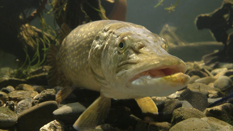 Ученые шаманят над инновационной разработкой на основе рыбьей чешуи